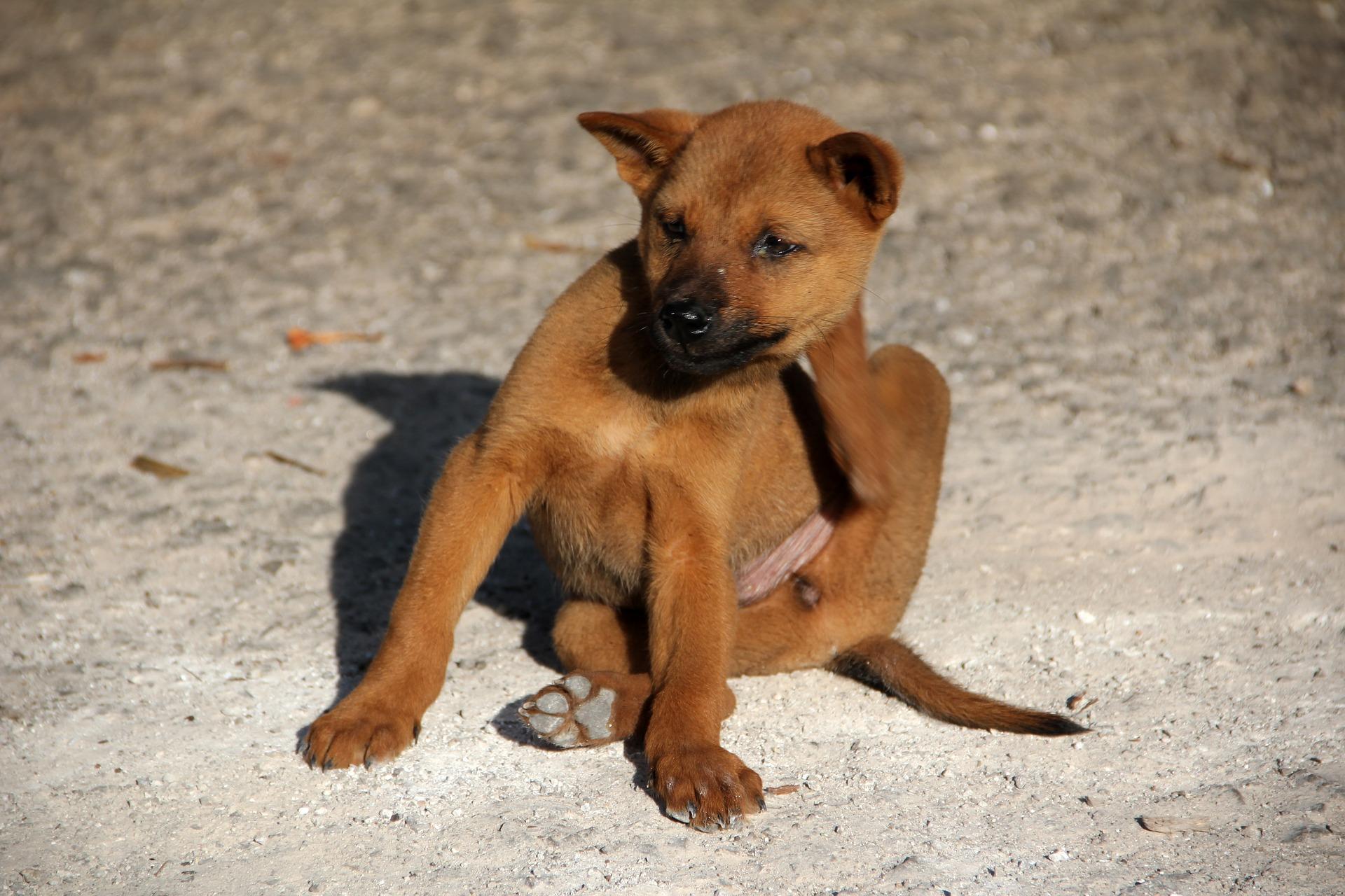 Wie kann man Flöhe bei Hunden behandeln?