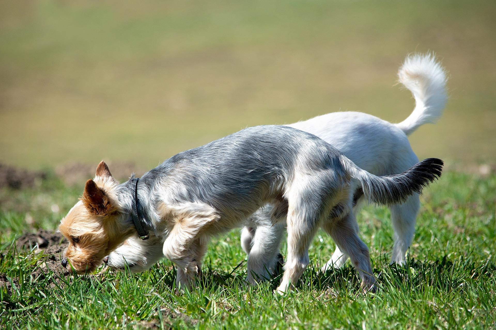 Zwei Hunde beim Schnüffeln auf der Wiese