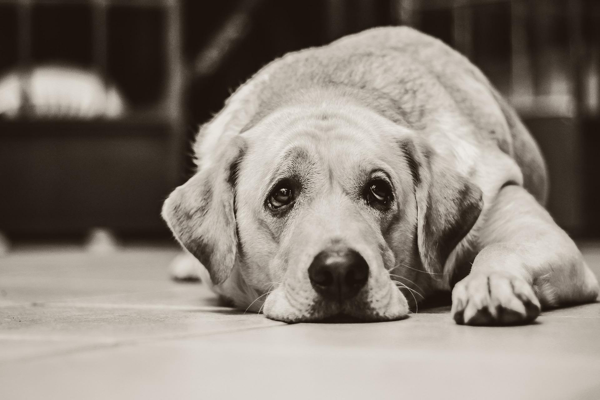 Hund humpelt